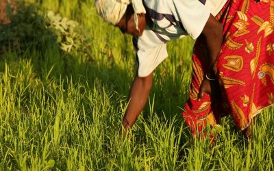 Out of the Weeds: AfricaRice's Mobile App for Farmers
